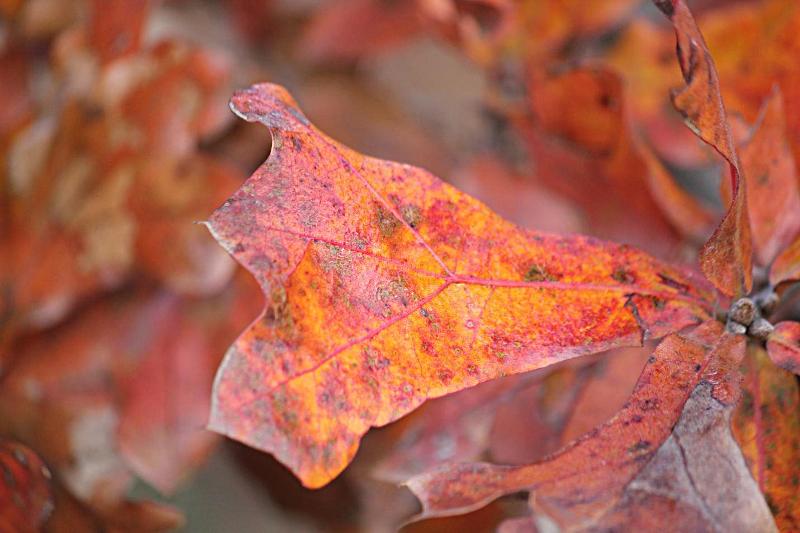 Blackjack oak leaf margin